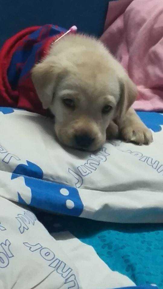 Bruce, a loving labrador puppy