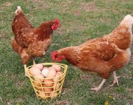 Fine chickens?-fnbworld