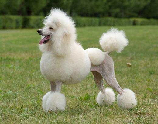 A fine poodle-fnbworld
