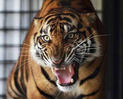 Tiger on prowl-fnbworld