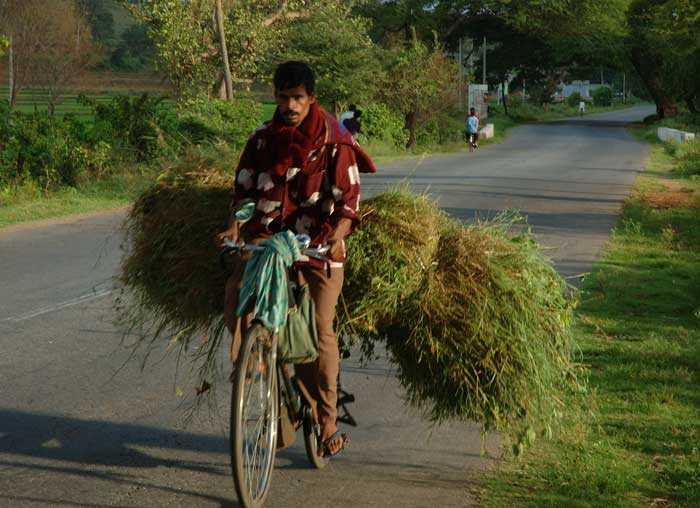 An Indian farmer   carrying cattle feed