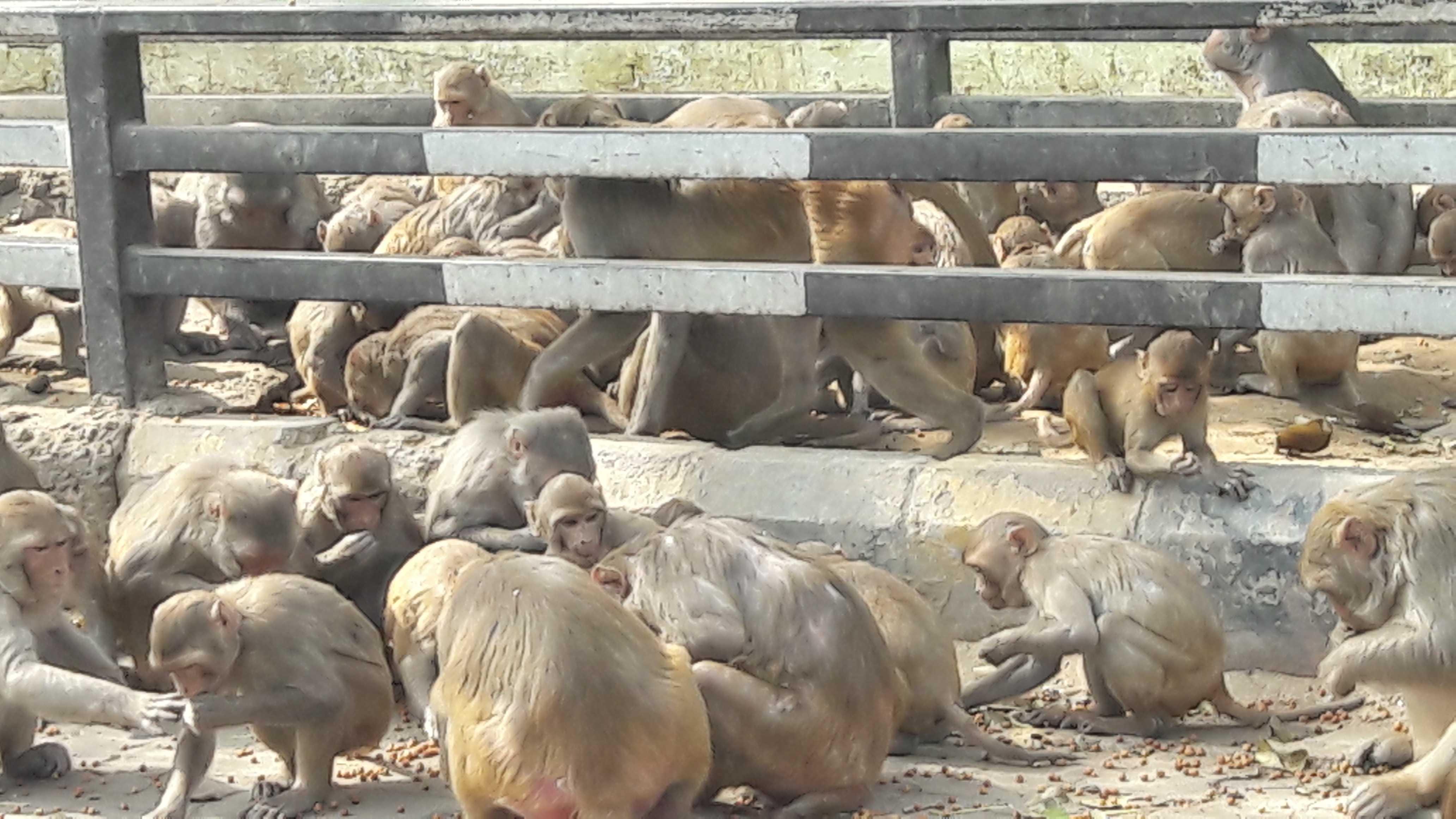 Monkeys call the shots in Vrindavan-Mathura-fnbworld