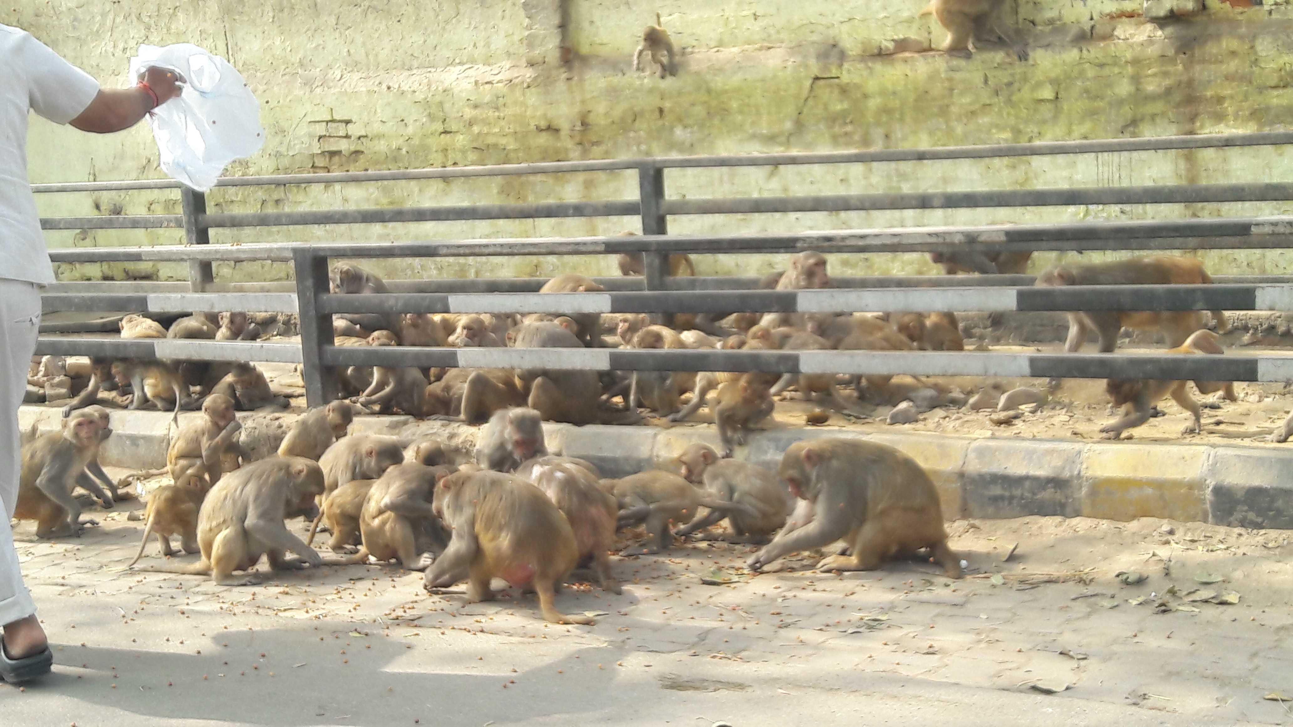 Feeding monkeys with corn and peanuts-fnbworld