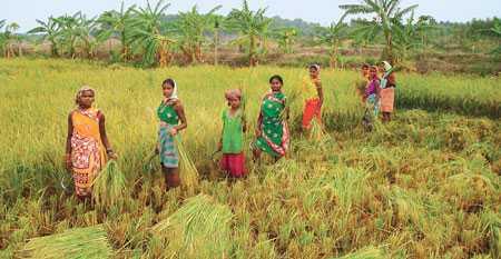 Rice fields of Odisha-fnbworld