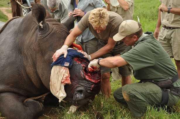 Chopped of horn of a rhino