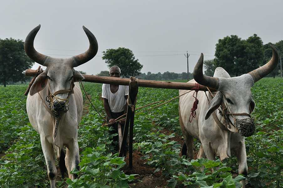 Man and beast farming in India-fnbworld