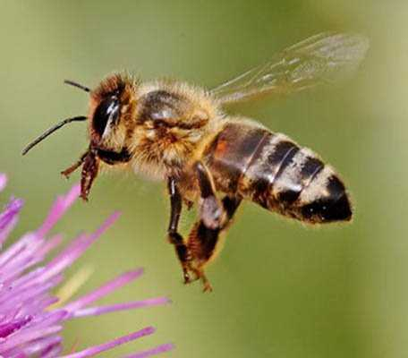 Honey bees need preservation