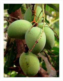 Raw mangoes-fnbworld